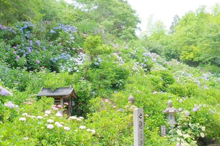 観音寺 紫陽花が広がる 画像