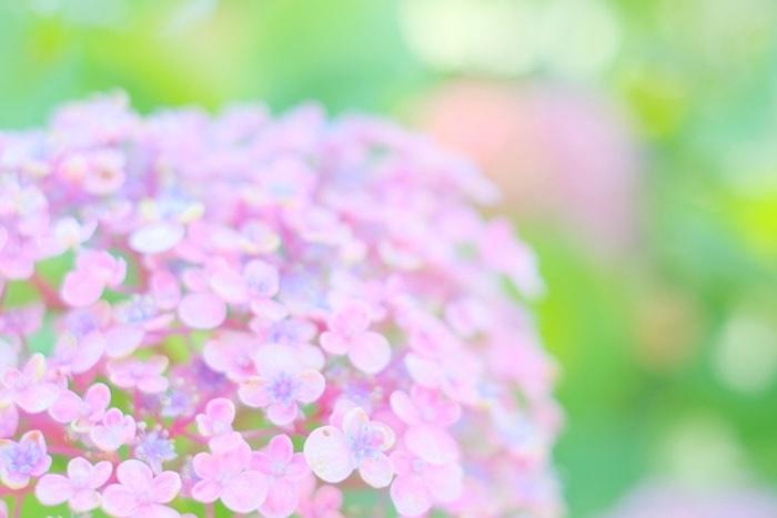 梅宮大社の紫陽花とは?