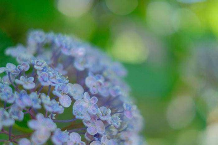 梅宮大社の渦紫陽花 画像