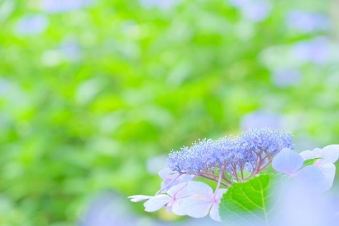 京都御苑 児童公園の紫陽花 撮影スポット