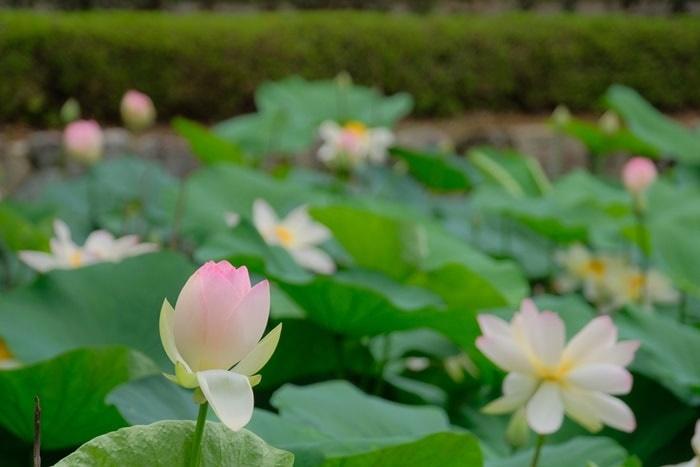 東福寺三門前のピンクの蓮