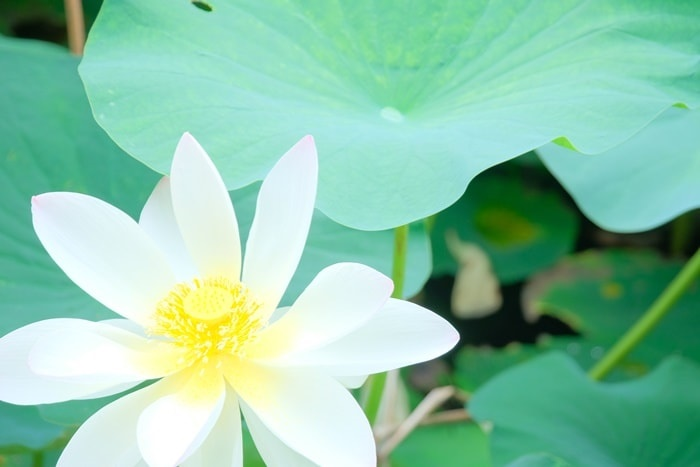 東福寺 三門前の白い蓮