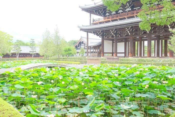 東福寺・三門前の蓮