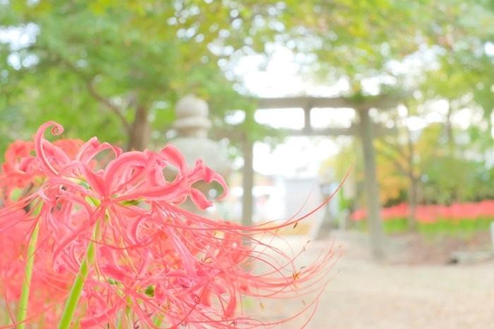 八幡市の若宮八幡宮の彼岸花撮影スポット