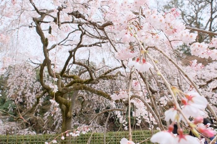 京都御苑の近衛邸跡の糸桜