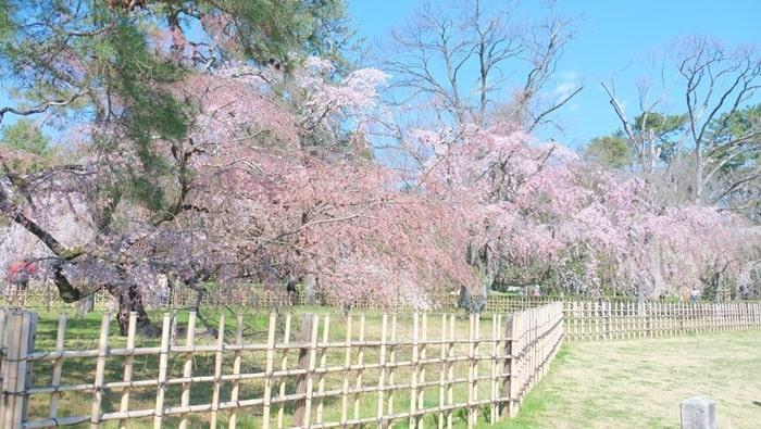 京都御苑の近衛邸跡 糸桜