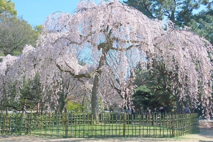 京都御苑の出水の桜