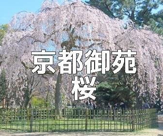京都・桜の撮影スポット 京都御苑の早咲き桜