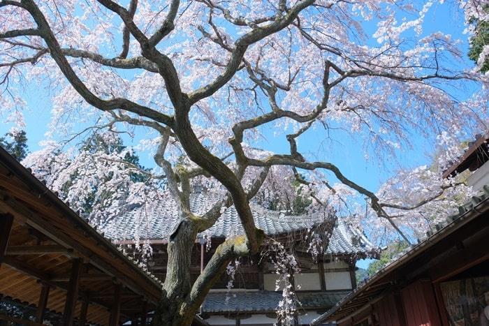 京都の桜スポット 十輪寺のなりひら桜
