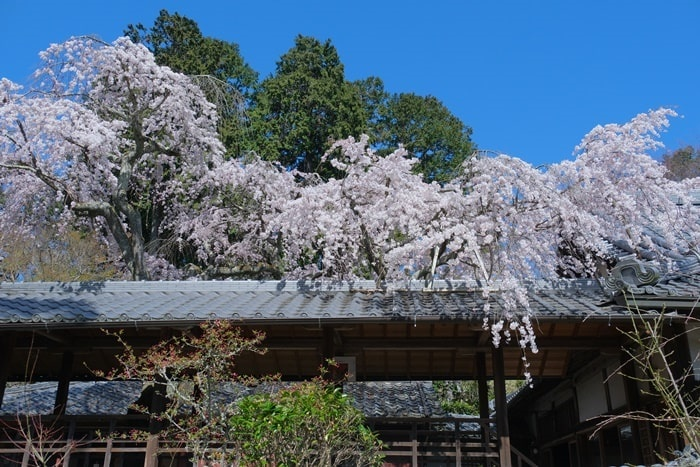 十輪寺の屋根となりひら桜
