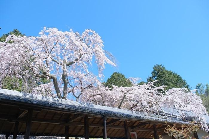 青空と屋根となりひら桜