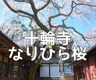 京都・桜の撮影スポット 十輪寺のなりひら桜
