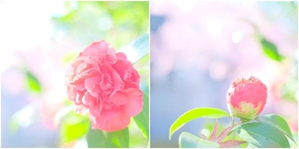 淀水路の河津桜と椿