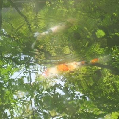 永観堂 青もみじが映る池で泳ぐ鯉