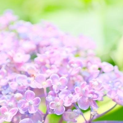 藤森神社 おたふく紫陽花