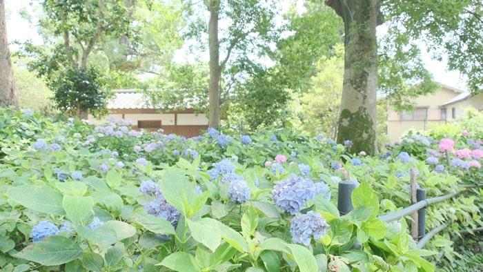 森の中の紫陽花苑 藤森神社