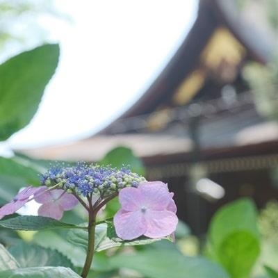 藤森神社アジサイと建物