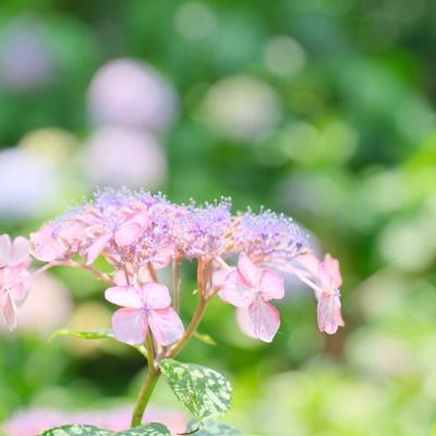 藤森神社 紫陽花の見頃