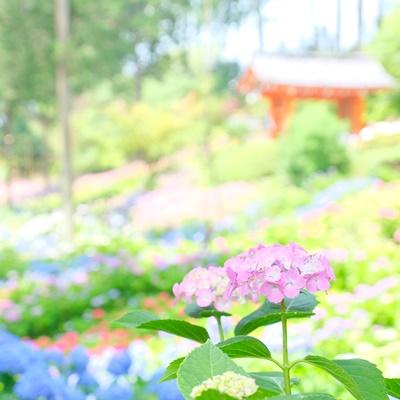 三室戸寺 朱色の門と紫陽花