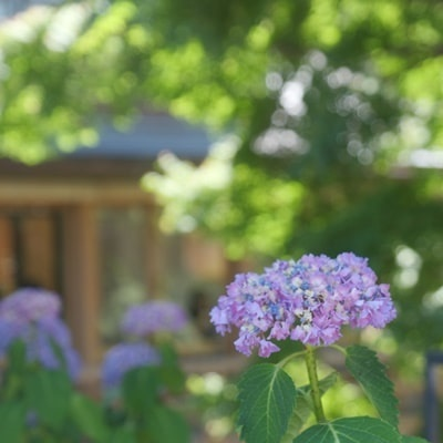 祇園白川 紫陽花の撮影スポット