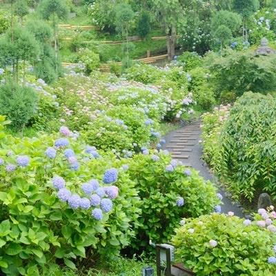 善峯寺 斜面に咲く紫陽花