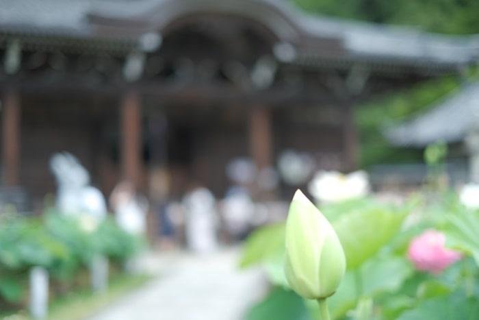 三室戸寺 本堂を背景にした蓮