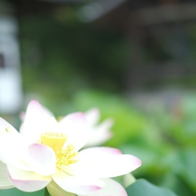 三室戸寺のハス