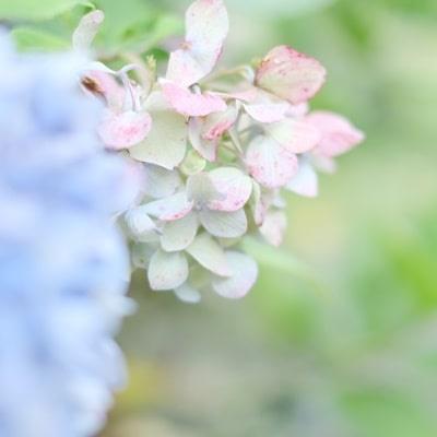 楊谷寺7月の紫陽花