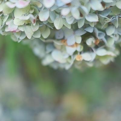 楊谷寺 7月の紫陽花