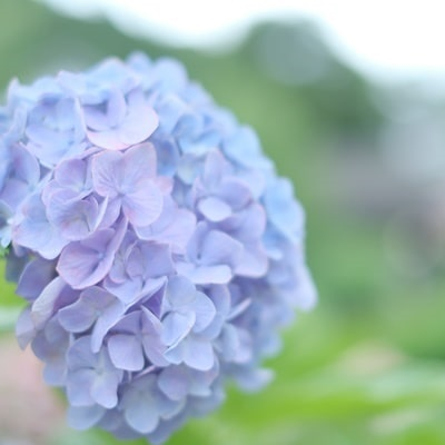 楊谷寺の紫陽花