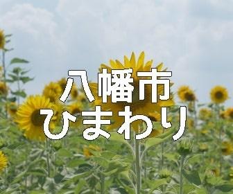 京都ひまわりの撮影スポット・八幡市ひまわり畑
