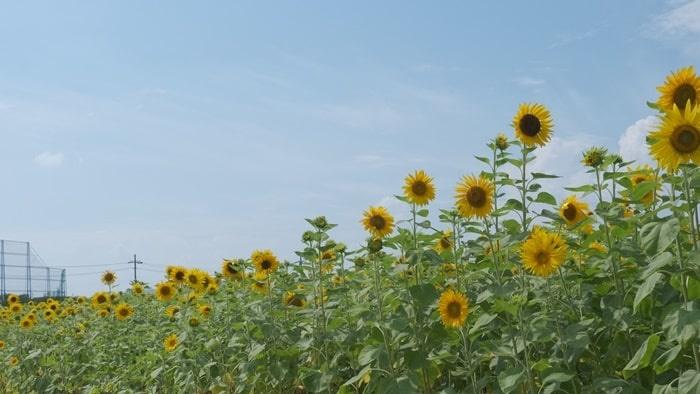 八幡市 ひまわり畑