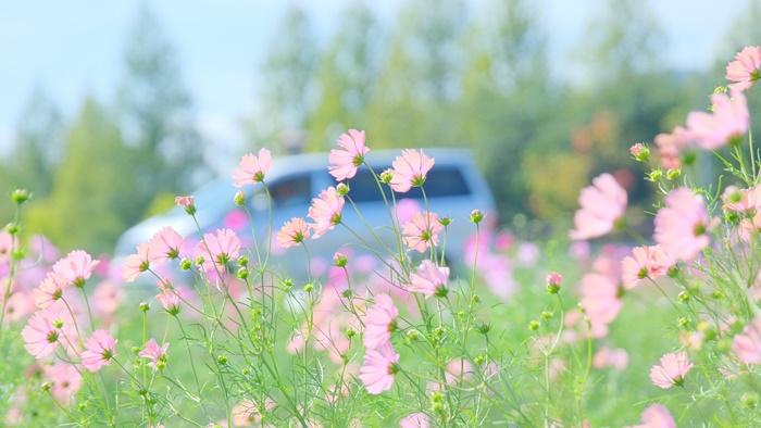 亀岡夢コスモス園