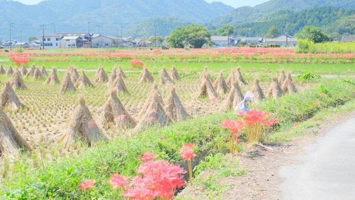 穴太寺周辺彼岸花の撮影スポット
