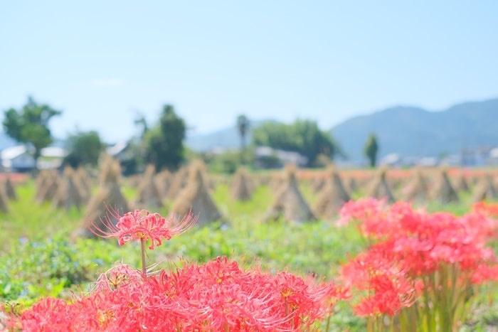 亀岡・穴太寺の彼岸花