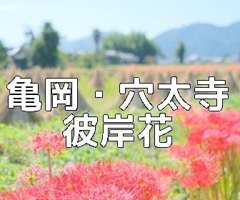 京都・彼岸花の撮影スポット 穴太寺周辺彼岸花の里