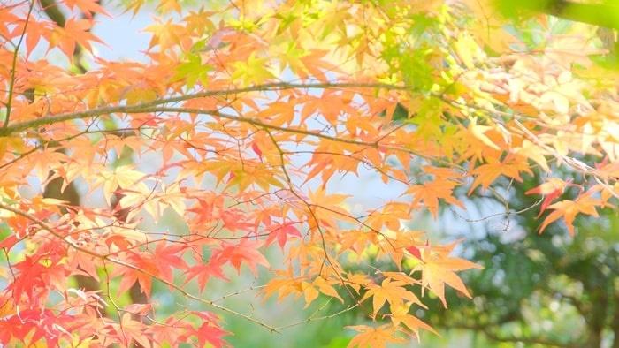 永観堂の紅葉の見頃
