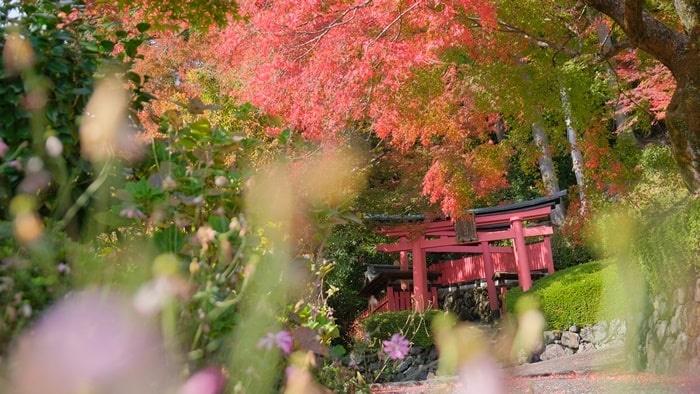 善峯寺の稲荷神社の鳥居と紅葉