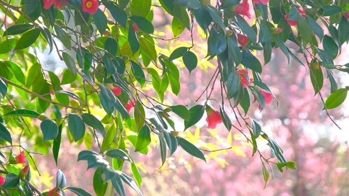 城南宮 しだれ梅背景の椿