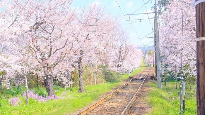 嵐電桜のトンネル