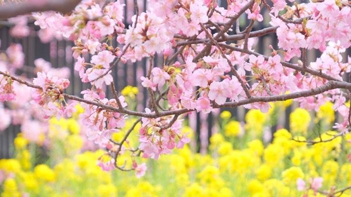 淀水路のか河津桜と菜の花