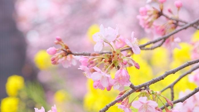 淀水路の河津桜と菜の花