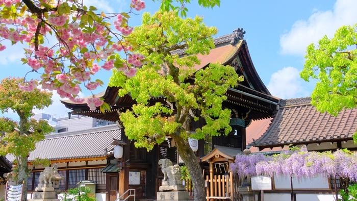六孫王神社の藤